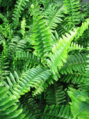 Fern Australian Sword Fern Landcraft Environments