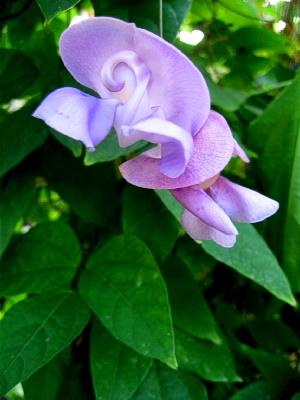 Phaseolus Caracalla Snail Flower Vine Landcraft Environments